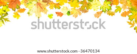 Panoramic autumn oak and maple leaves on white background - stock photo
