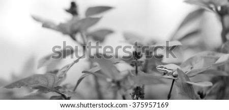 Panoramic Black and White grayscale image of Australian Green Tree Frog on Basil leaf in organic garden - stock photo