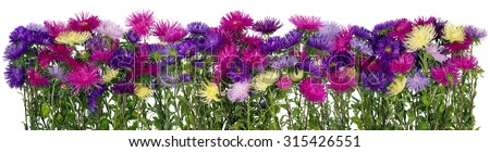 Panoramic border of the magnificent blossoming autumn asters  flowers on bed. Isolated collage from several photos
