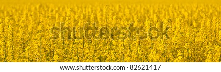 Panoramic detail of a field of ripe canola on a sunny spring afternoon. Photo has short depth of field. - stock photo