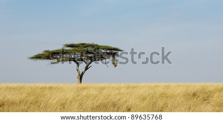 Panoramic image of a lonely acacia tree in Serengeti - stock photo