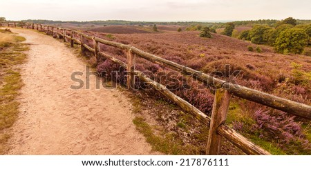 Panoramic image of blooming heathland with hiking trail at the Veluwe in The Netherlands - stock photo
