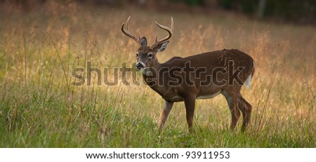 Panoramic image of Male deer or Buck standing in a meadow looking to the left with late afternoon light. - stock photo