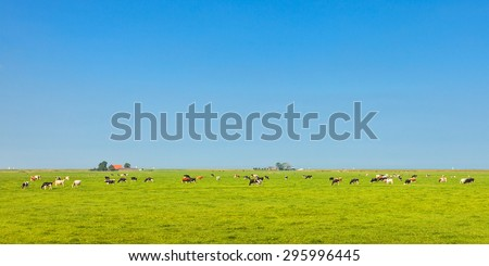 Panoramic image of milk cows in the Dutch province of Friesland in summer - stock photo