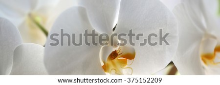Panoramic image of splendid tender white blossoming orchidea flower exotic tropical plant amazing floral design of wallpaper card natural background closeup, horizontal picture - stock photo