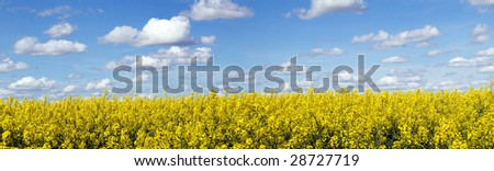 Panoramic landscape of a rapeseed field under blue sky - stock photo