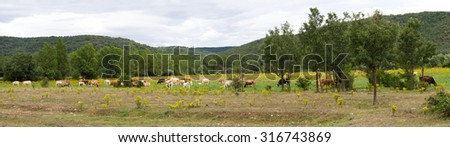 Panoramic landscape of brown  cows, grazing in plain or meadow with yellow flowers; on the banks of a river with poplars and willows beside hills or mountains with  oak in the background - stock photo