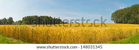 Panoramic landscape of gold wheat field with blue sky. Zuid Limburg. The Netherlands. - stock photo