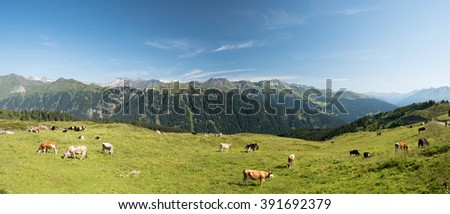 Panoramic landscape with cows grazing on a green alpine meadow, Italy.