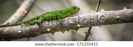 Panoramic of an iguana on a branch of tree - stock photo