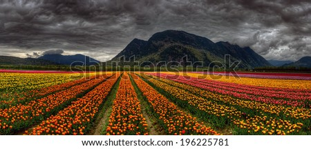 Panoramic photo of beautiful and bright converging rows of variously colored tulips with distant mountains - stock photo