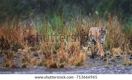 Panoramic photo of wild Bengal tiger, Panthera tigris in heavy rain, Ranthambore National Park, Rajasthan, India. Tigress emerging from grass, perfectly camouflaged. Tigers natural habitat.