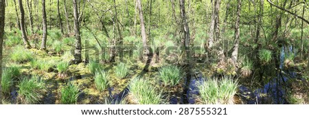 panoramic picture of forest marsh - stock photo