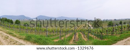 panoramic picture of rows of young grapes in wineyards of southen Germany region Rheinland Pfalz - stock photo