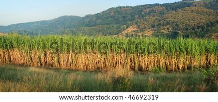 panoramic scenery of sugar cane plantation - stock photo