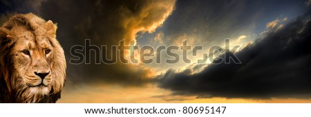 panoramic style image of a majestic male asiatic lion alert to the approaching storm clouds