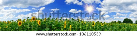 Panoramic view  field of sunflowers by summertime. - stock photo