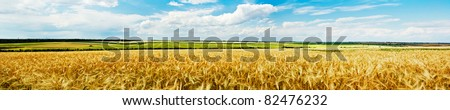 Panoramic view of a golden wheat field - stock photo