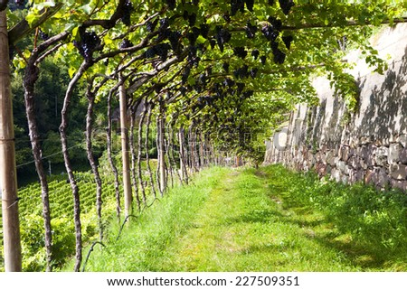 Panoramic view of a vineyard in Alto Adige (Italy) - pergola - stock photo