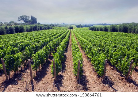 Panoramic view of a vineyard in the Tuscan countryside - Bolgheri - stock photo