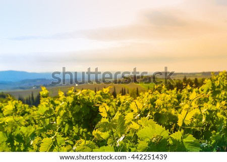 Panoramic view of a vineyard in the Tuscan countryside - Chianti valley - stock photo