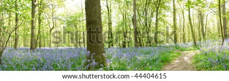 panoramic view of a wood full of bluebells at spring time with a footpath