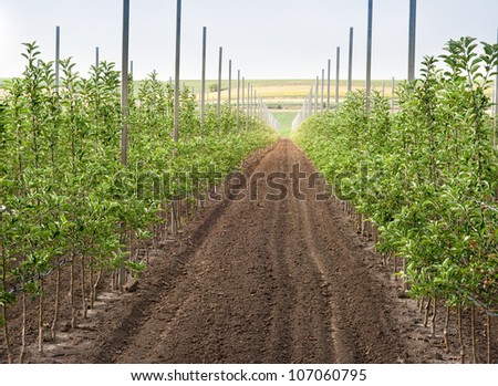 Panoramic view of a young apple orchard - stock photo