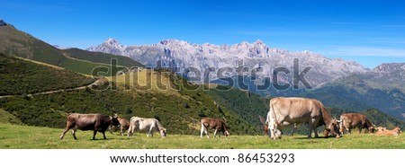 Panoramic view of asturias cows herd in the beautiful Cantabrian mountains - stock photo