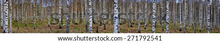 Panoramic view of bare trees in scandinavian birch forest in early spring - stock photo