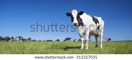 Panoramic view of black and white cow on green grass. - stock photo