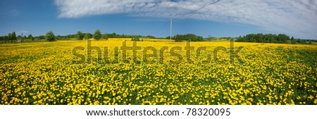 Panoramic view of dandelion field with perfect sky in nice spring day - stock photo