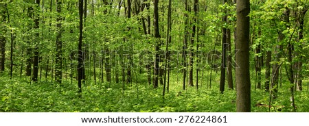 Panoramic view of deep wood forest in spring time - stock photo
