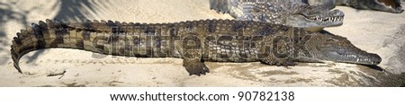Panoramic view of Nile crocodile lying on the shore.  Image assembled from few frames - stock photo