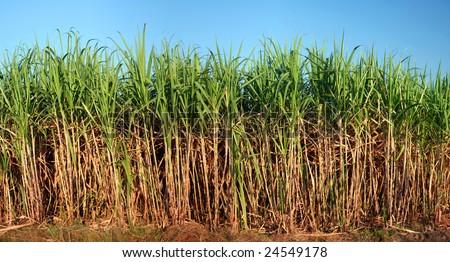 Panoramic view of sugarcane plantation - stock photo
