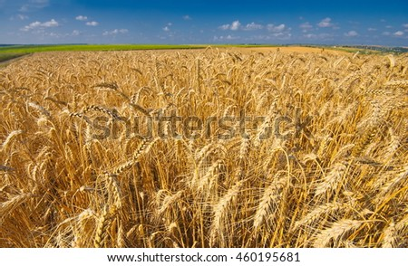 Panoramic view of the big yellow wheat field under beautiful blue sky and clouds at summer sunny day. Sunflower field in the background