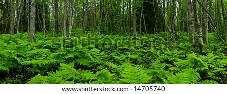 panoramic view of the ferny forest