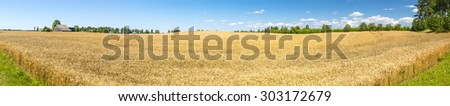 Panoramic view on field of ripening wheat. May be useful for ideas and concepts of agriculture productivity and healthy food  - stock photo