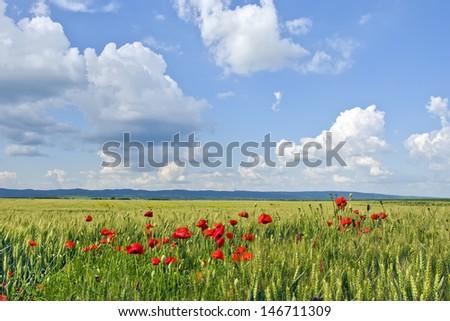 Panoramic view on wheat field. South of mountain Fruska Gora, Serbia. Part of Pannonian Plain. - stock photo