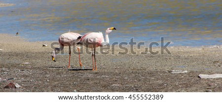 Panoramic view two James's flamingos  on the background of the Alpine lakes in the Bolivian Andes. Also known as the puna flamingo, is populates in high altitudes of Andean plateaus  in Peru, Chile - stock photo