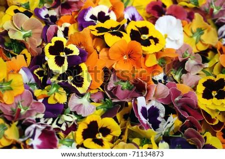 pansies - stock photo