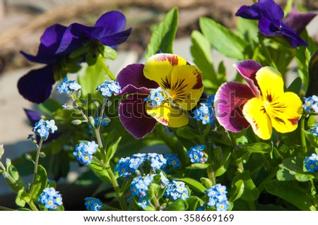pansies. a popular cultivated viola with flowers in rich colors, with both summer- and winter-flowering varieties. Water Forget-me-not - Myosotis scorpioides