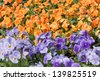 Pansies flower in a plant nursery - stock photo