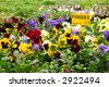 Pansies for sale! - stock photo