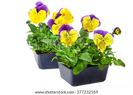 Pansies in bedding packs fresh from the greenhouse. - stock photo