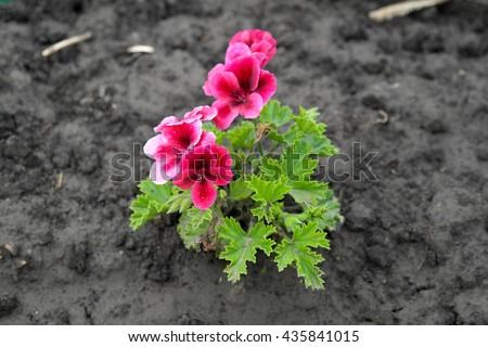 Pansies Pink & Red - stock photo