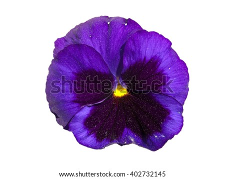 Pansy flower isolated in white background - stock photo