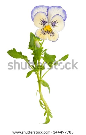 Pansy flower isolated on white