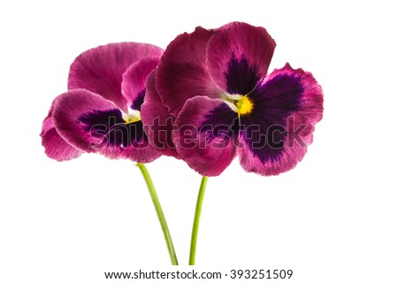 pansy flower isolated on white background - stock photo
