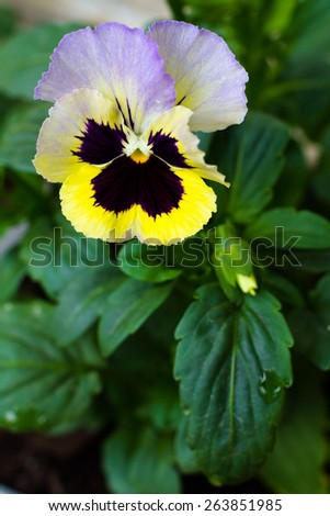 Pansy flower with yellow, lilac and violet petals. - stock photo