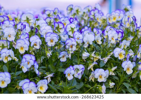 Pansy Flowers Background. Large Depth of Field (DOF). Macro. Symbol of Fun and Reminiscence. - stock photo